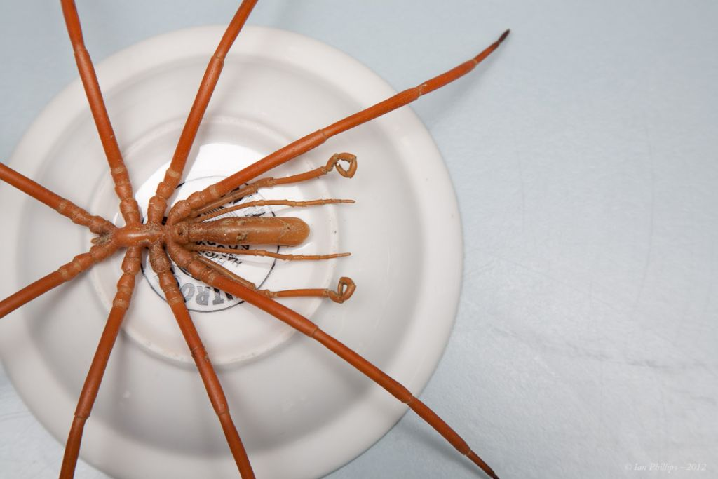 Sea Spiders Use Their Guts, Not Hearts, To Pump Oxygen