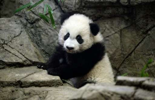 Video Of The Week - Giant Panda Cub Bei Bei Makes His Public Debut