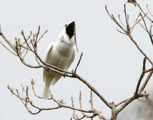 "The Amazon's White Bellbirds Shatter Record For World's Loudest Bird ""Song"""