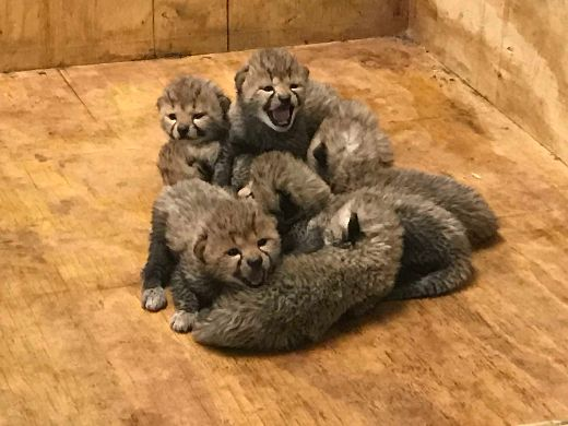 St. Louis Zoo Welcomes Eight Adorable Cheetah Cubs