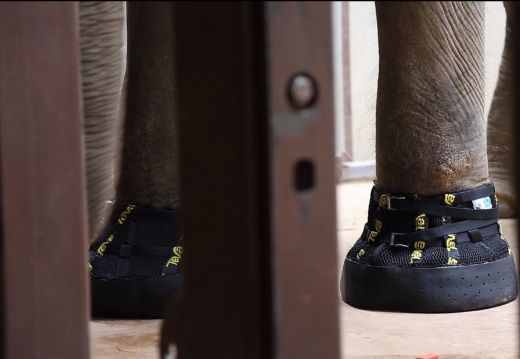 Why National Zoo's Resident Elephant Shanthi Is Wearing Stylish Teva Boots