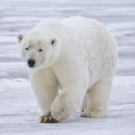 Celebrate International Polar Bear Day With Nora, Columbus Zoo's Adorable Polar Bear Cub