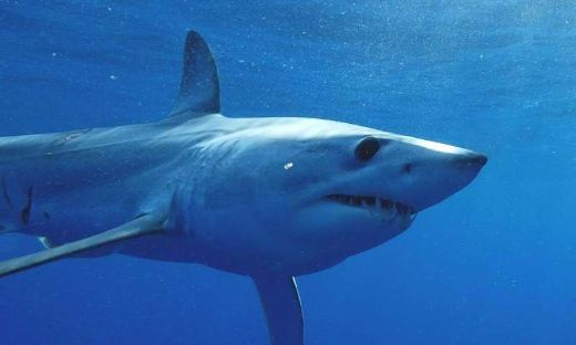 Speedy Quick Mako Shark Swims A Record-Breaking 13,000 Miles In Less Than Two Years