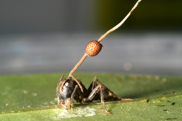 Zombie Ant Parasite Controls Its Victims Like A Puppeteer