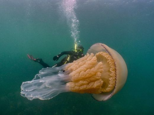 Massive Barrel Jellyfish Caught On Camera Off English Coast