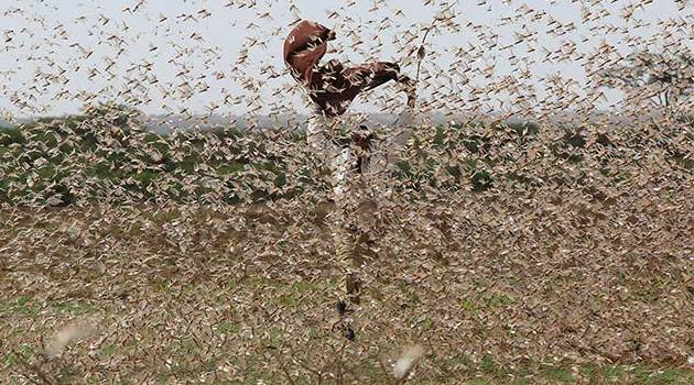 Desert Locusts Are Wreaking Havoc In East Africa