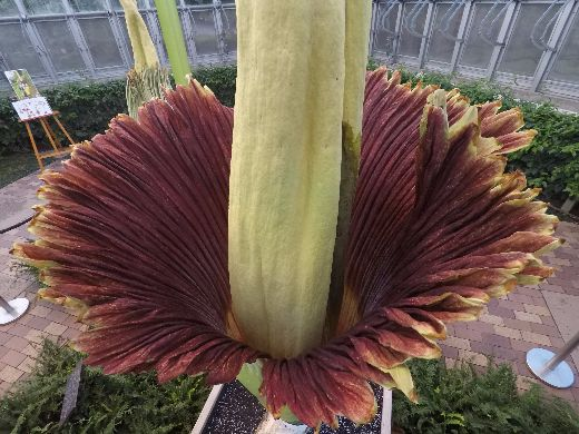 Chicago Botanic Garden Visitors Witness The Rare Bloom Of Two Corpse Flowers
