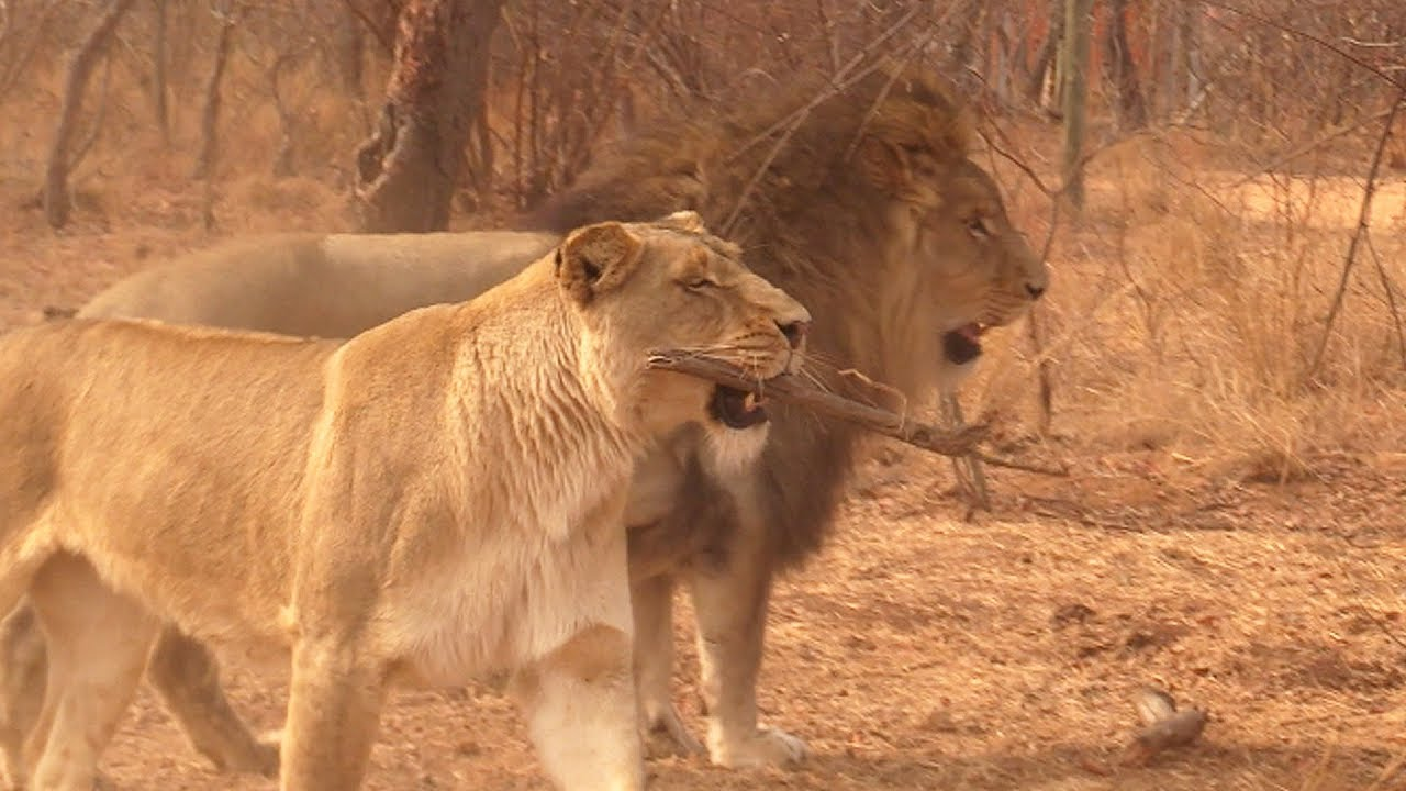 本周视频-见见萨拉比,一只喜欢玩接东西的母狮!
