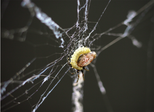 The Crafty Wasps That Turn Spiders Into Web-Weaving Zombie Slaves