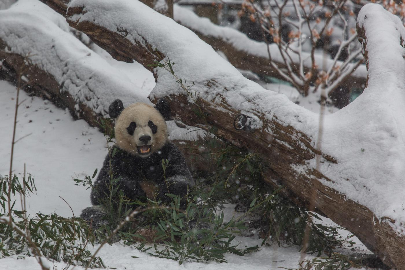 Adorable Giant Panda Bei Bei Enjoys A Snow Day