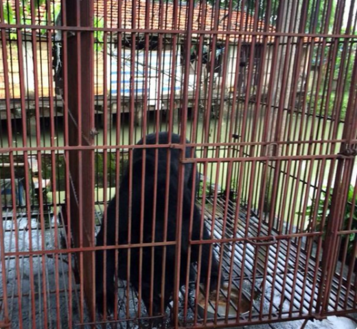 Free At Last! Tuffy The Bear Rejoices After Being Rescued From Bile Farm
