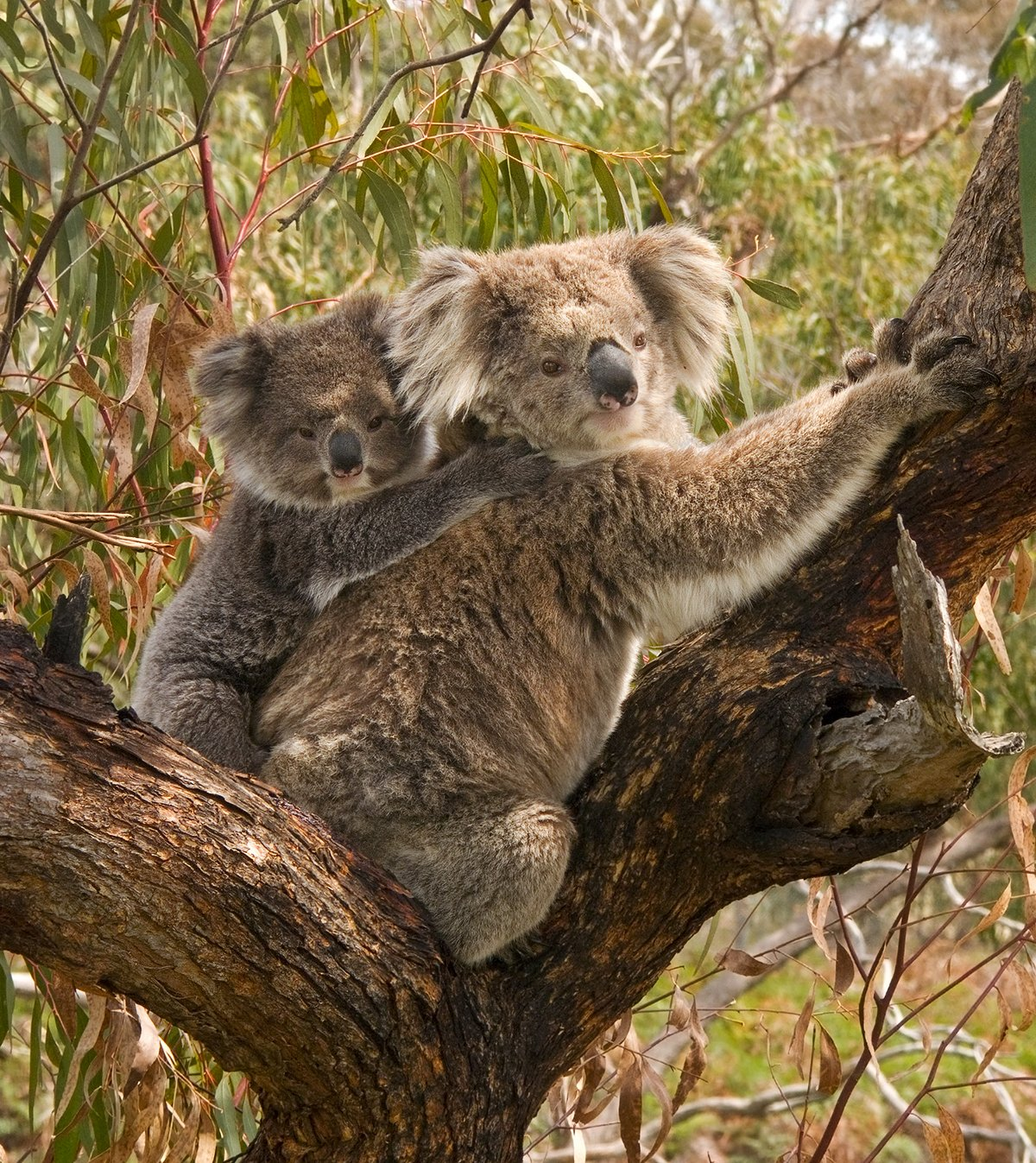 Adorable Baby Koala Mistakes Pet Dog For Its Mother Kids ...