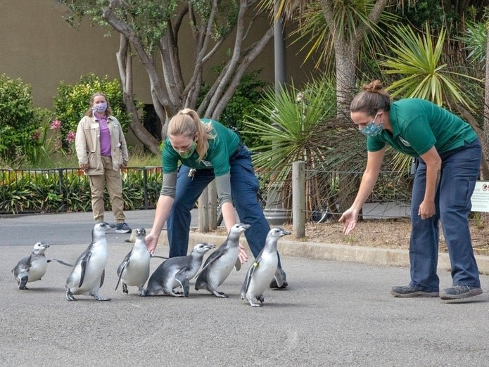 "San Francisco Zoo's Adorable Baby Penguins Graduate From ""Fish School"""