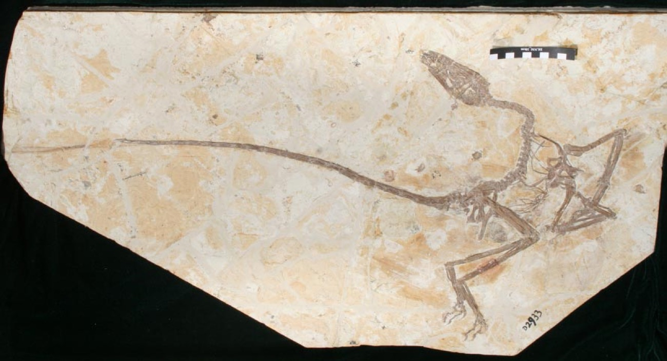 "Feathered ""Dancing Dragon"" Fossil May Provide Insights Into How Birds Evolved From Dinosaurs"