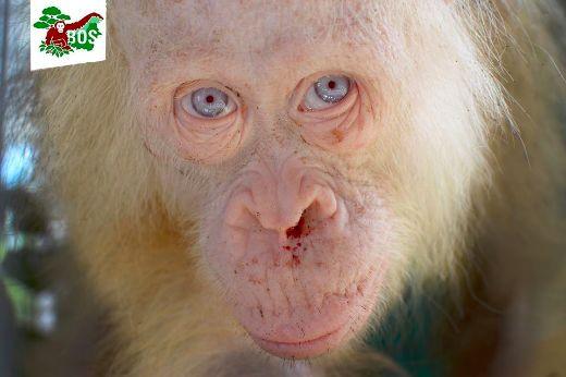 Indonesian Activists Rescue Rare Albino Orangutan