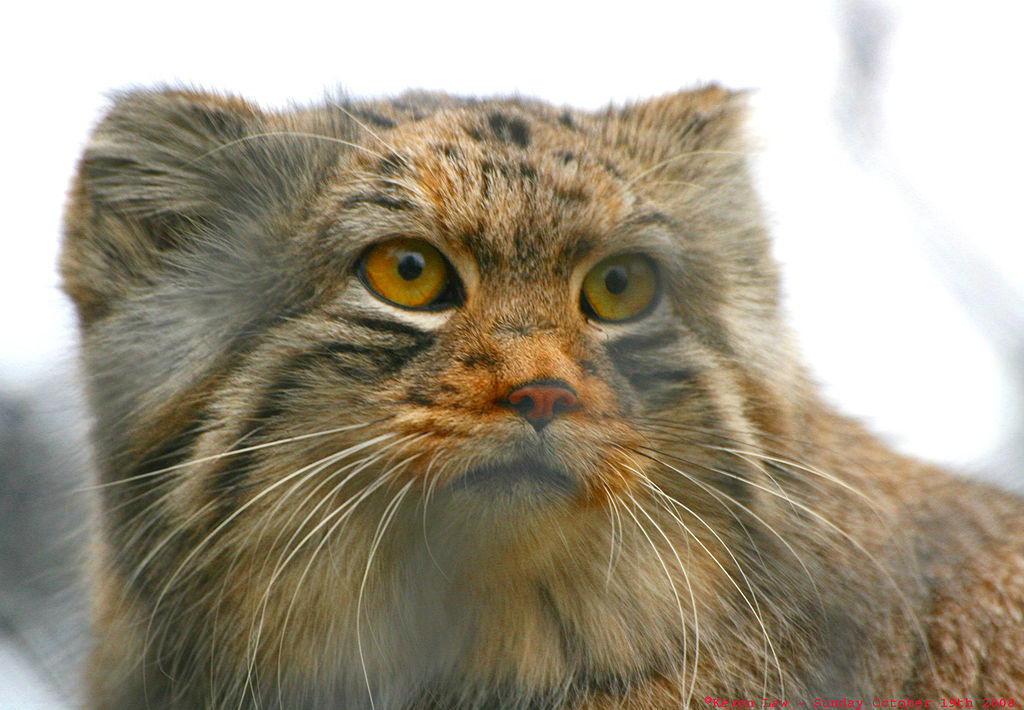 Video of the week rare pallass cats captured on camera in video of the week rare pallass cats captured on camera in mongolia kids news article publicscrutiny Images