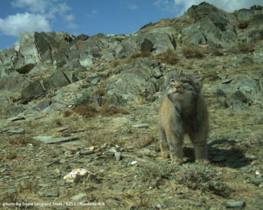 Video Of The Week - Rare Pallas's Cats Captured On Camera In Mongolia