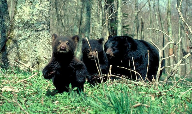 黑熊幼崽第一次在游乐场玩滑梯的可爱视频