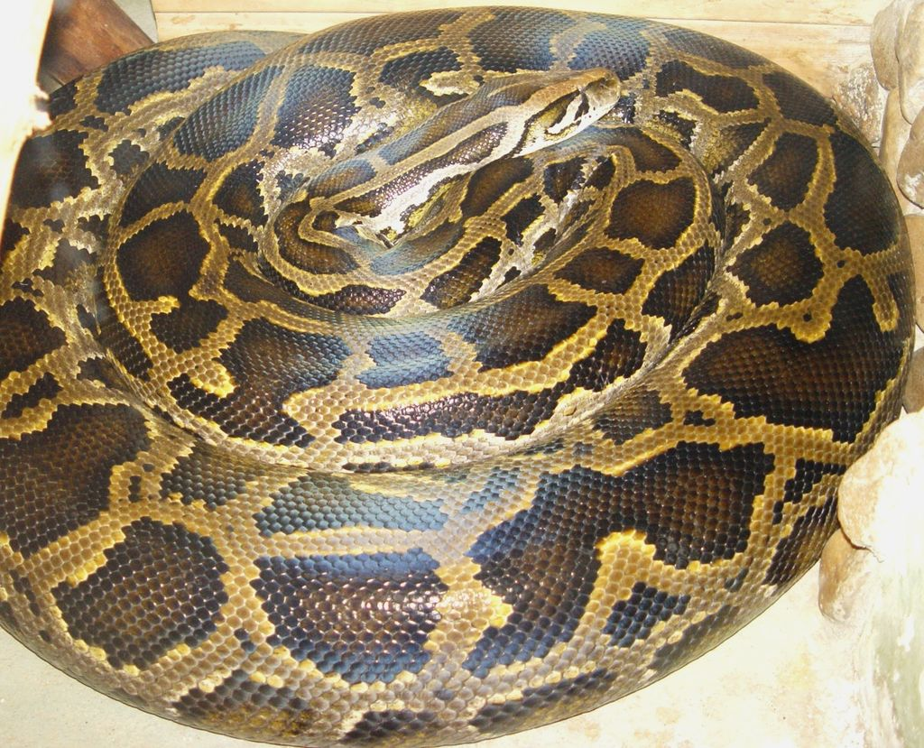 Can't Decide On A Pet? - How About A Python