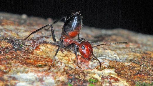 Exploding-ant-1-medium