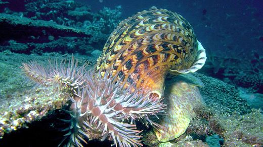 Australian Scientists Hope The Giant Triton Snail Will Help Save The Great Barrier Reef