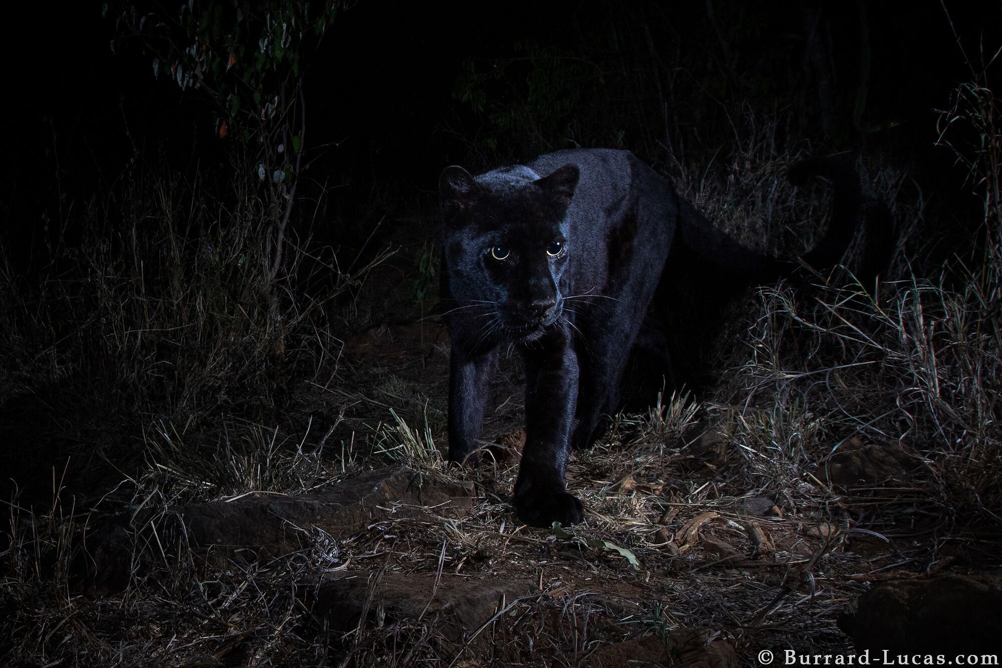 Magnificent Rare Black Leopard Caught On Camera In Kenya