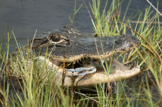 Alligators On The Beach? Killer Whales In The River? Get Used To It!