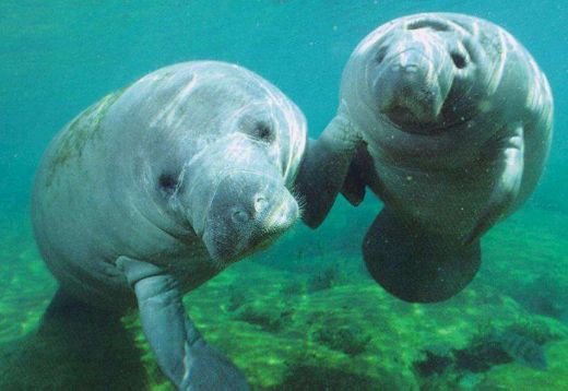 Are Affectionate Tourists Harming Endangered Florida Manatees?