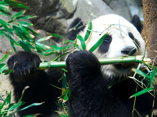 The Giant Panda's Striking Coloration May Stem From Its Poor Diet