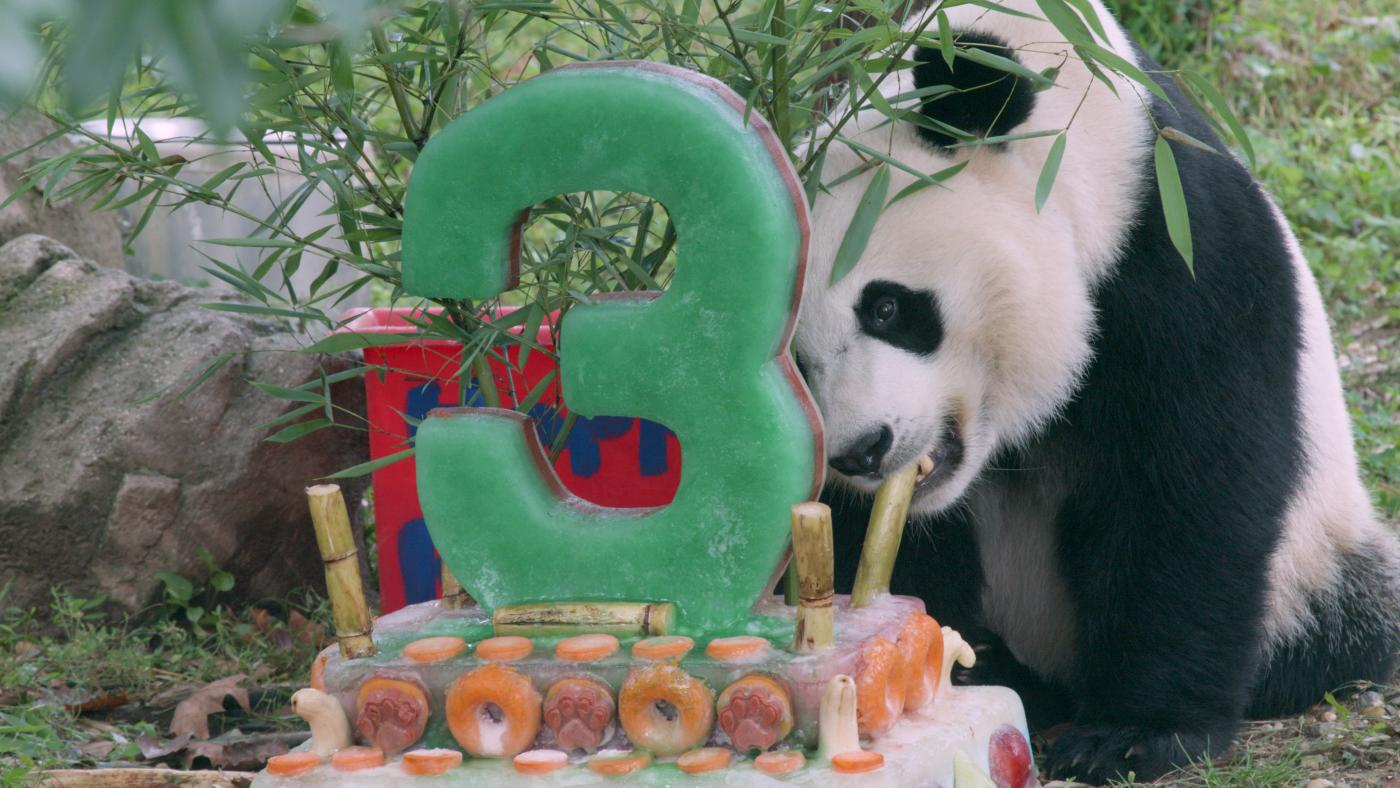 National Zoo's Adorable Giant Panda Bei Bei Turns Three!