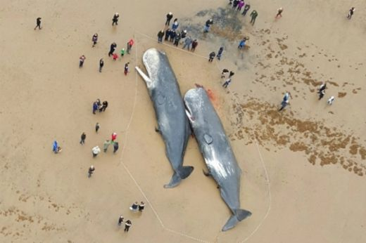 Sperm Whales Washed Up In Germany Had Plastic Waste In Their Stomachs