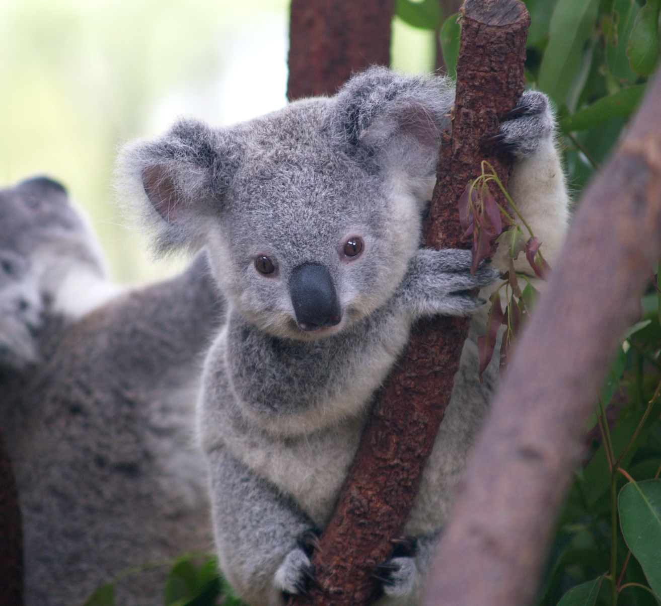 Adorable Baby Koala Mistakes Pet Dog For Its Mother