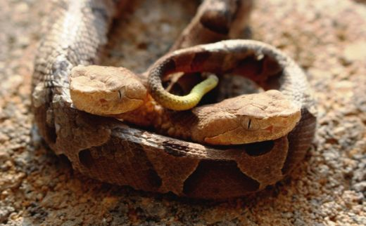 Rare Two-Headed Copperhead Snake Found In Virginia Is A Social Media Sensation