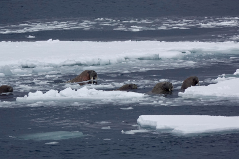 Russian Navy Boat Sinks After Being Attacked by Walrus in Arctic Ocean