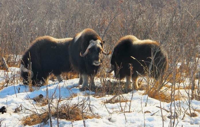 Siberia's Pleistocene Park Adds Baby Bison In Quest To