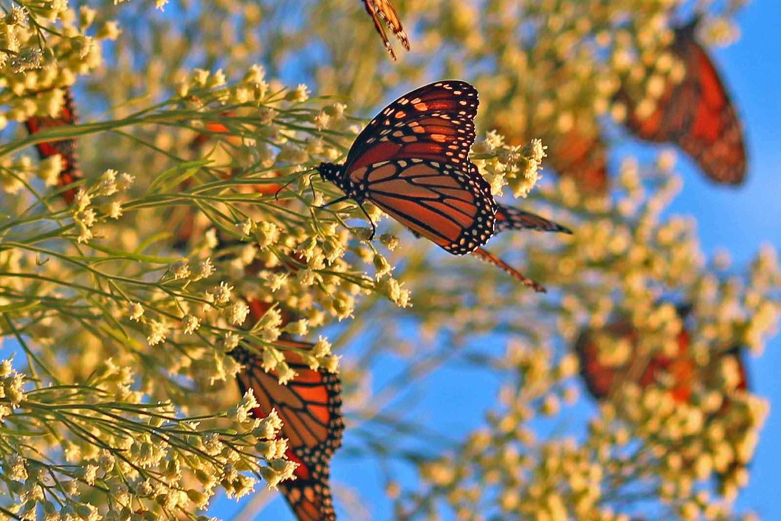 The Fascinating Migration Trek Of Monarch Butterflies Has Begun!