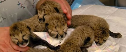 Video  Of The Week - Cincinnati Zoo Debuts Adorable Newborn Cheetahs