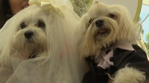 Video Of The Week — Wedding Bells For Canine Couples In Peru