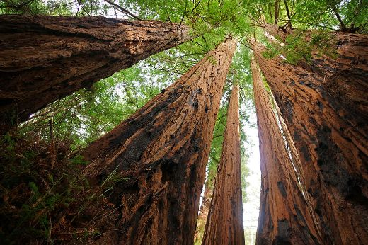 Mystery Of California's Albino Redwoods May Be Finally Solved