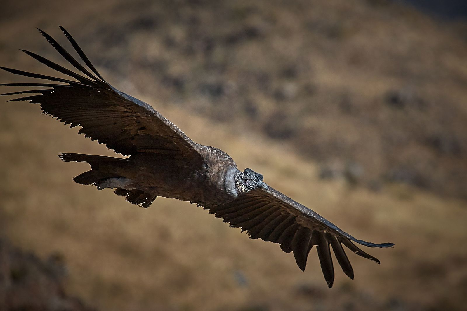 Andean Condors Can Stay Aloft For Hours Without Flapping Wings