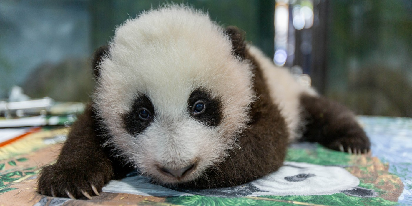 Help Smithsonian's National Zoo Name Its Adorable Giant Panda Cub