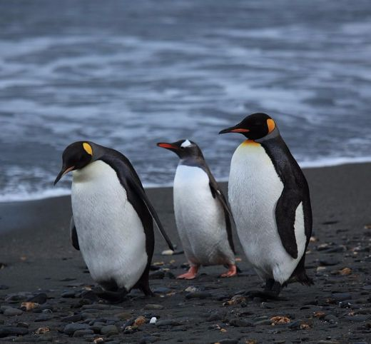 Plight Of The Antarctic Penguins