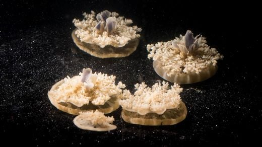 Brainless Jellyfish Could Help Reveal Why We Sleep