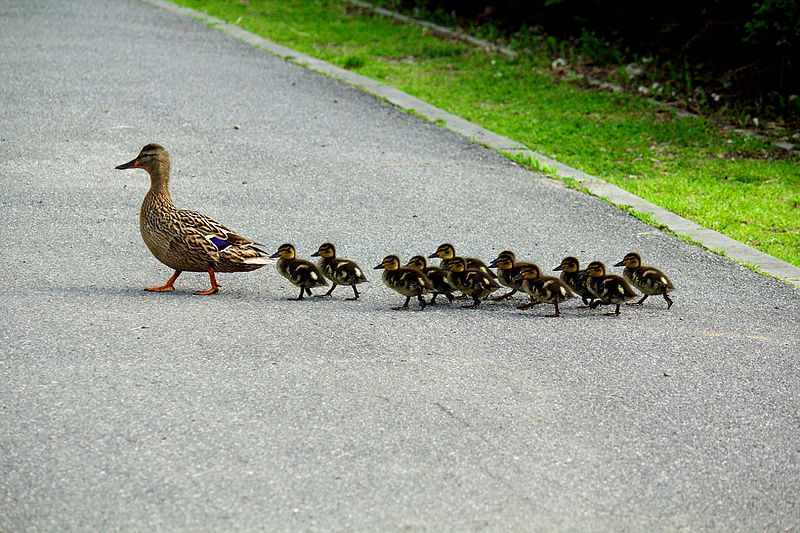 Imprinting Causes Baby Ducklings To Believe That A Man Is Their