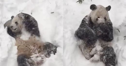 Video Of The Week - Giant Panda Tian Tian Shows How To Enjoy A Blizzard