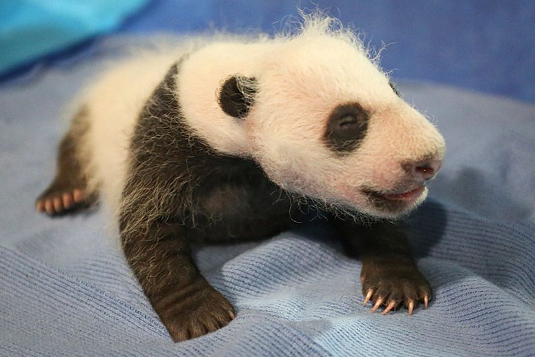 National Zoo's Adorable Newborn Giant Panda Is Named Bei ...