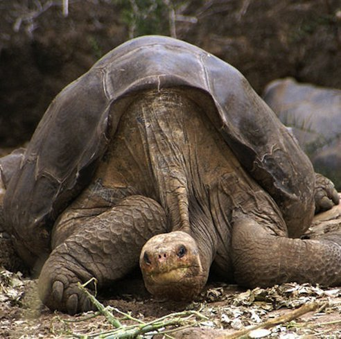 Lonesome George, The Last Giant Tortoise Of Its Species Is No More!