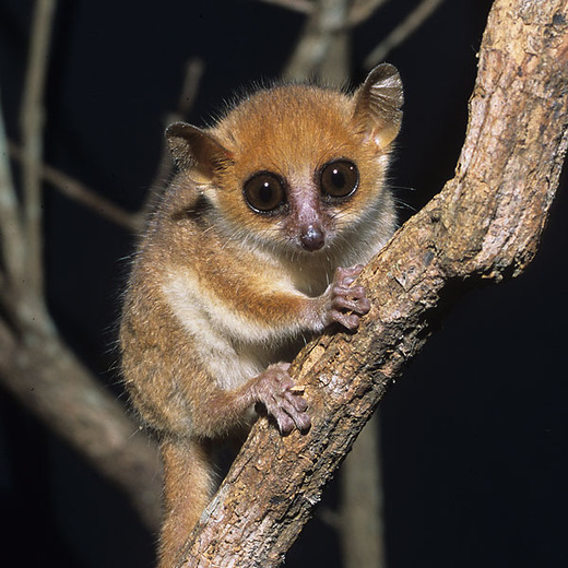 Northern Sportive Lemur Endangered   www.pixshark.com ...
