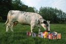 Cows Get To Eat Candy? Sweet!