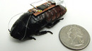 A Cockroach You May Actually Be Grateful To See